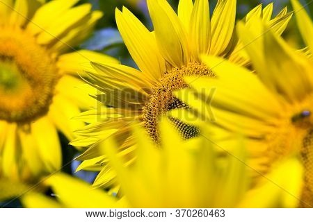 Group Flower Of Beautiful Yellow Annual Sunflower In The Field, Farming For Growing Oilseeds In Euro