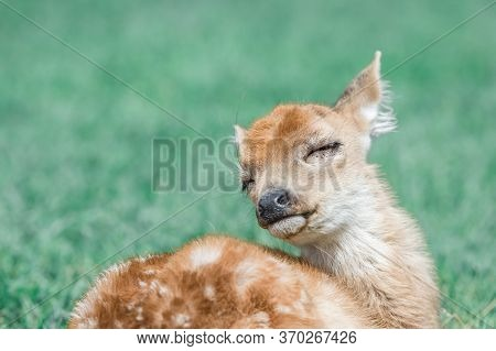Baby White-tailed Deer Seems To Enjoy Its Life A Lot.relaxing Odocoileus Virginianus