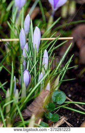 Flowering Crocuses Or Crocuses With Purple Petals (spring Crocus). Crocuses Are The First Spring Flo