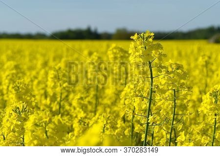 Yellow Rapeseed Field. Wide Angle View Of A Beautiful Field Of Yellow Rapeseed Field. Yellow Canola