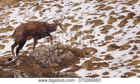 Alpine Chamois Or Rupicapra Rupicapra Climbing Over Rock Showing Side Profile With Melting Snow In B