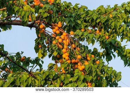 Branches Of The Old Apricot Tree With Ripe Apricots In Orchard On A Background Of The Clear Sky, Fra
