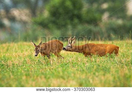 Roe Deer Buck Following Doe And Licking Her To Feel Hormones In Rutting Season