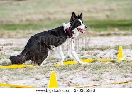 The Border Collie Dog At The Training Site Is Engaged In Obedience Training, Stood Up Tensely And Lo