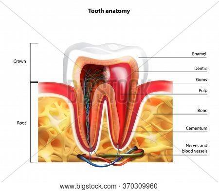 Molar Anatomy In Details. Illustration Of Human Teeth.