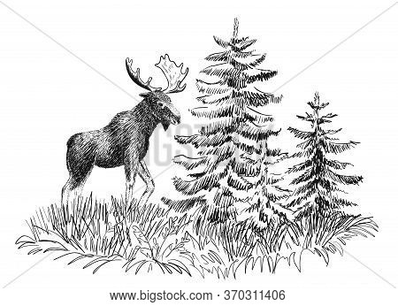 Moose In Wild Nature Sketch. Hand-drawn Illustration Isolated On White