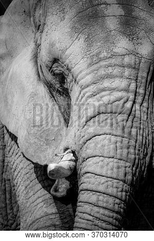 Black And White Portrait Elephant. Detail Of Elephant. Poster African Elephant.