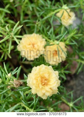 Beautiful Flower, Fresh Yellow Purslane, Moss Rose, Ten O'clock, Sun Rose Or Portulaca Grandiflora F