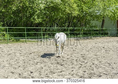 A White Horse Walks In The Summer On A Ranch. Horse Paddock.