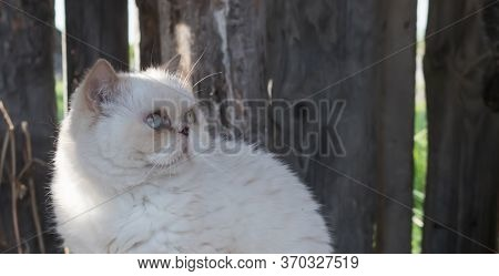 A Cute Beige Domestic Cat Gazes Somewhere Upwards Against The Background Of Wooden Boards. Copy Spac