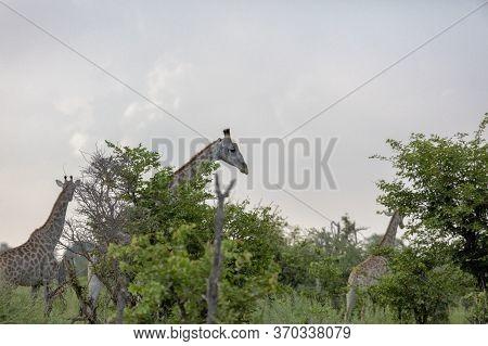 Giraffe Feed As They Walk Through The Okavango Delta In Botswana.
