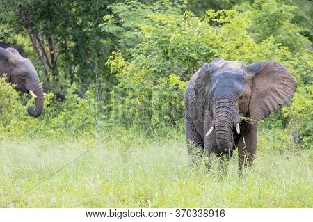 A Young Elephant Feeds At The Side Of A Main Road In Botswana While Others Appear From The Bush Behi