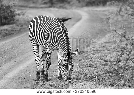 Black And White Image Of A Zebra Grazing At The Edge Of A Track In Zimbabwe.