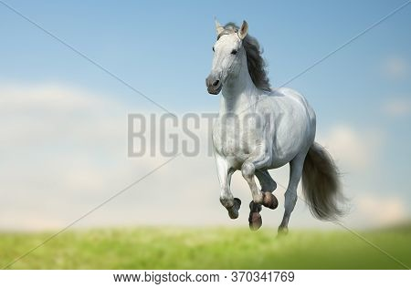 Beautiful Andalusian Horse Running Fast In The Field. White Long Maned Horse Running In The Field Wi