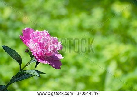 Closeup Nature View Of Pink  Fresh Pion Flower On Blurred Greenery Floral Background With Copy Space
