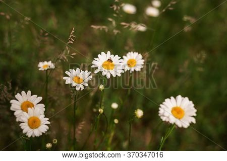 Close Up Of Wild Flowers Nature Background Nature Background Of White Flowers In The Grass. Green Na