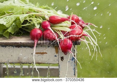 Fresh Radishes On Old Wooden Chair With Water Drops