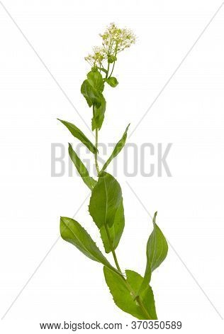 Lepidium Draba, The Whitetop Or Hoary Cress, Or Thanet Cress. Isolated On White.