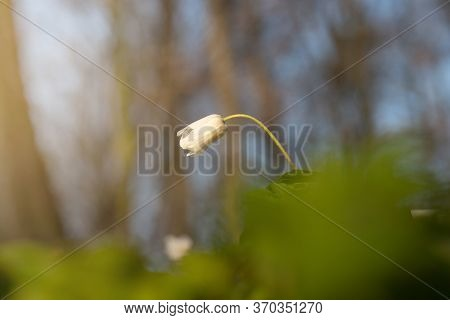 White Spring Flower Called Wood Anemone, Anemone Nemorosa Or Windflower Backlit By Beautiful Sunset