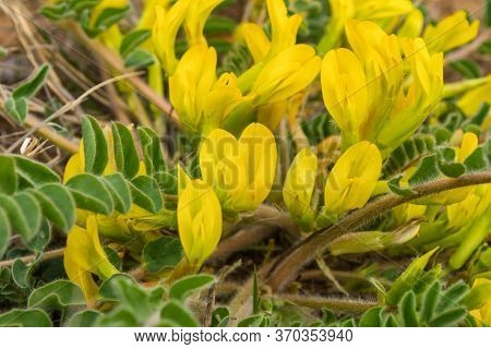Yellow Flowers Of Downy-flowered Astragalus Or Woolly-flowered Astragalus (astragalus Dasyanthus). M