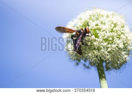 Megascolia Maculata Is A Species Of Large Wasps From The Family Of Scaly .