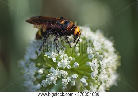 Megascolia Maculata. The Mammoth Wasp. Scolia Giant Wasp On A Onion Flower. Scolia Lat. Megascolia M