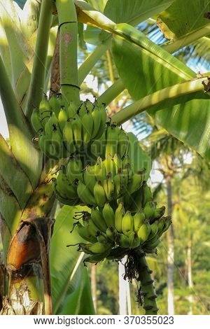 Banana Trees And Bananas Ready To Be Harvested. Sweet Fruit Typical Of The Tropics. Bunch Of Green B