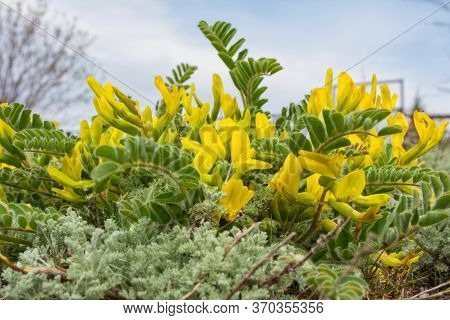 Flowering Plant Astragalus Downy Or Woolly-flowered Astragalus (astragalus Dasyanthus). Medicinal St