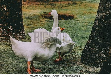 White Domestic Pekin Duck Waddling Around In The Garden