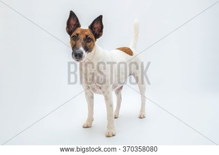 Smooth Fox Terrier Dog Stands In White Isolated Backdrop. Pets, Pure-bred Dogs, Pet Advertisement Co