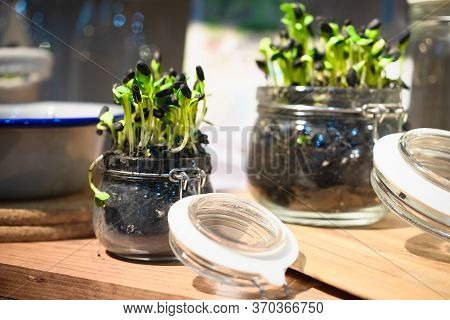 Micro Greens Or Sprouts Of Raw Live Sprouting Vegetables In Glass Jar Home Gardening. Sprouting Micr