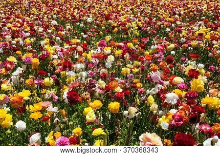 The field of luxurious large spring buttercups. Beautiful sunny spring day. The southern border of Israel, a kibbutz field. The floral carpet. The concept of botanical, environmental and photo tourism