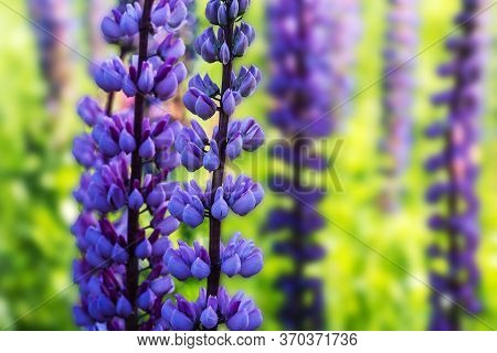 Blooming Lupins In The Meadow On A Warm Summer Day Close Up