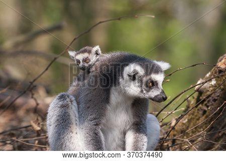 Portrait Of Lemuriformes - Lemur In The Park, Which Has On Its Back A Small Lemur Cub.