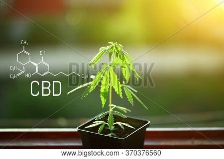 Hemp Of The Formula Cbd Cannabidiol. Hemp Oil, Cbd Oil Cannabis Extract. Medical Marijuana Concept.