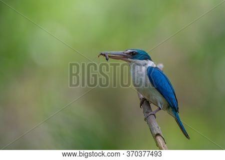 Beautiful Blue Bird In Nature Collared Kingfisher (todiramphus Chloris)
