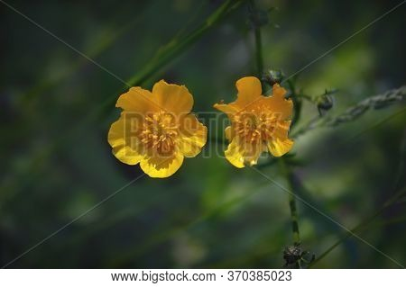 Macro Photo Nature Yellow Caltha Palustris Flower. Texture Background Blooming Wild Yellow Flower Ma
