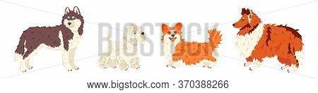 Husky, West Highland White Terrier, Corgi, Collie Dog Breeds Vector Flat Set. For Pet Shops And Groo
