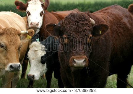 Cattle Grazing On A Farm In Oxfordshire In The Uk
