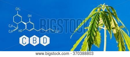 Cbd Formula On A Blue Background With A Green Hemp Bush, Concept Of Growing Cannabis For The Product