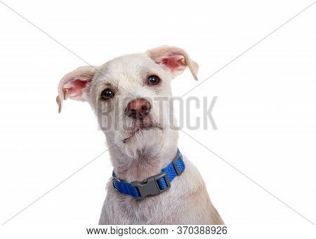 Portrait Of An Adorable Terrier Mix Puppy Wearing A Blue Collar With A Quizzical Expression Looking