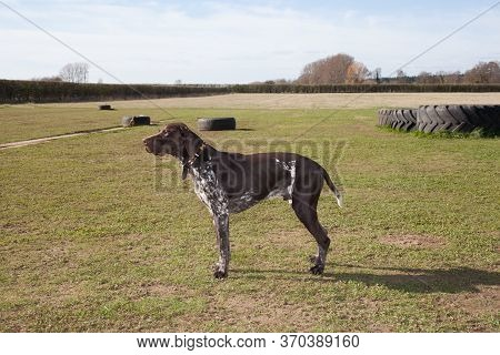 A German Short Haired Pointer In A Field