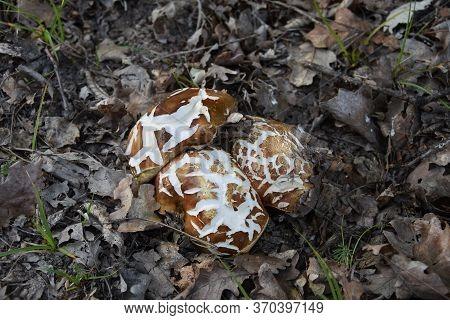Boletus Edulis Commonly Known As  Cep, Penny Bun, Porcino Or Porcini Mushroom