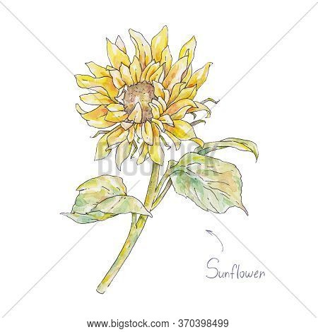 Yellow Sunflower Isolated On White Background. Watercolor Handwork Illustration. Drawing Of Blooming