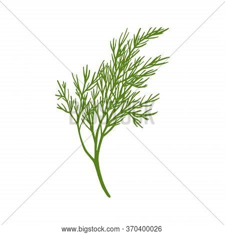 Fresh Fennel Branch Isolated On White Background. Dill Bunch Vector Illustration