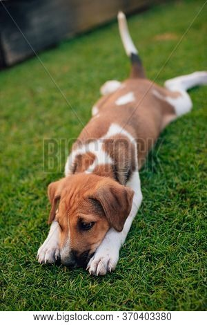 Small And Cute Puppy Plays In The Yard, Laying On The Grass With His Tail Up And Put His Head Betwee