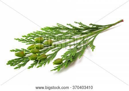 California Incense Cedar Branch With Fruits Isolated On White