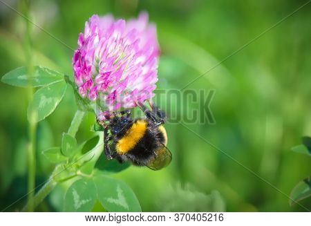 Bumblebee Close Up In Its Natural Habitat. Bumblebee Sitting On Trefoil Flower, Selective Focus. Bea