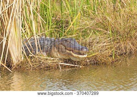 American Alligator Sunning In The Reeds In The San Bernard Wildlife Refuge In Texas
