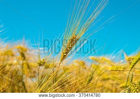 Barley Field On A Bright Sunny Day. Barley For Beer And Whiskey. Close-up. Selective Focus.